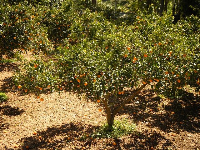 Дерево мандарин